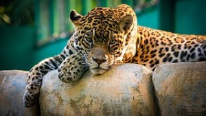 leopard-962795__180[1]